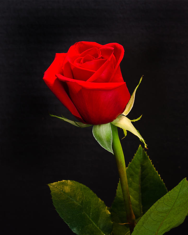 The Tyranny Of The Red Rose Scavius